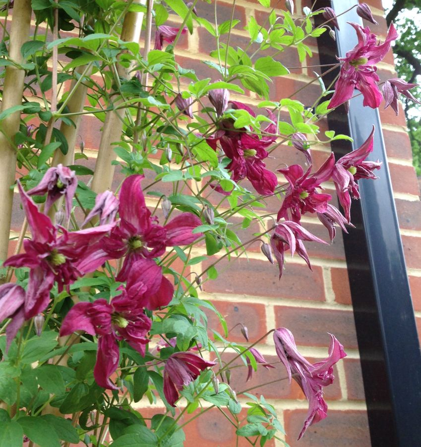 Clematis Viticella Rosalyn
