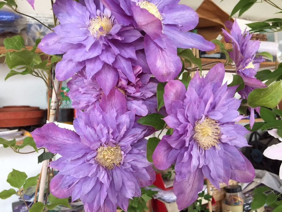 Clematis Vyvyan Pennell nice big flowers