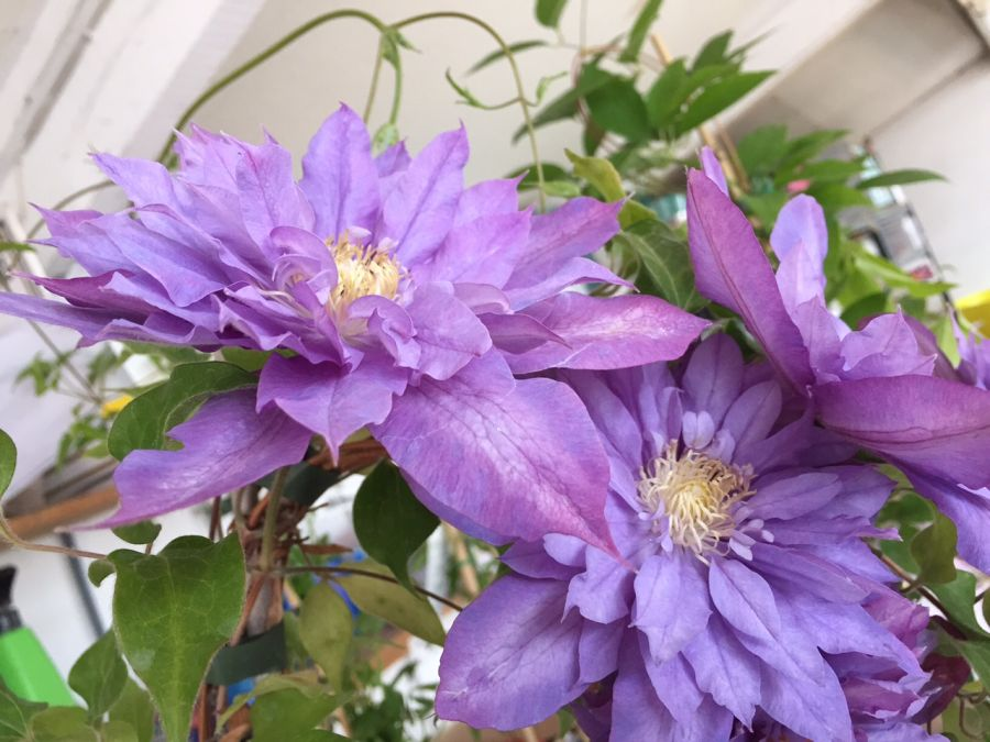 Clematis Vyvyan Pennell fully double blooms