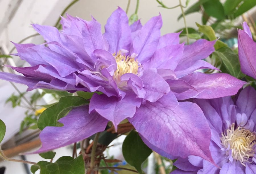 Clematis Vyvyan Pennell close up