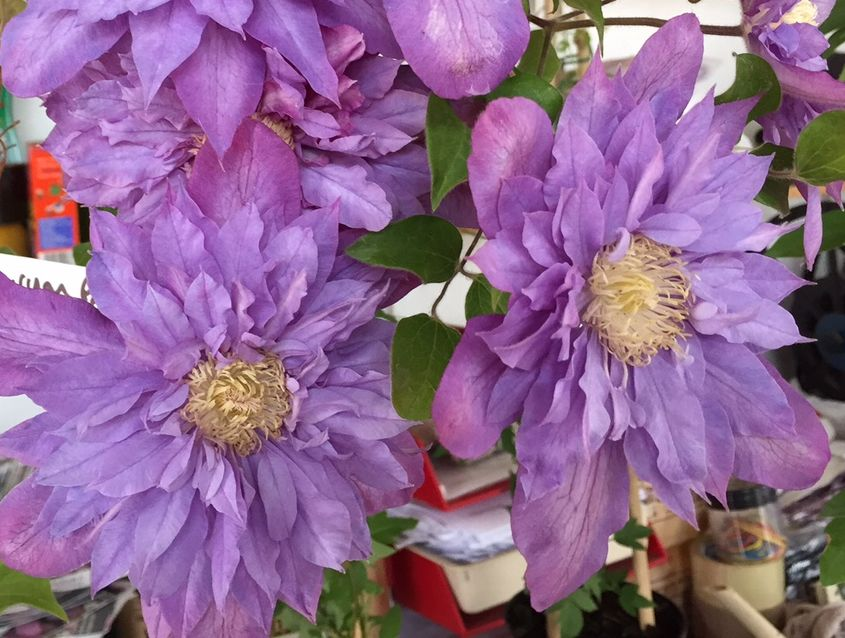 Clematis Vyvyan Pennell nice pair