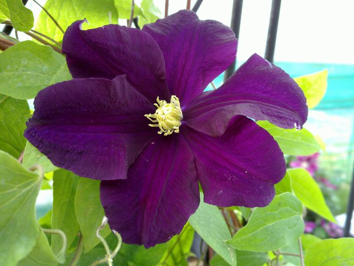 clematis warszawska nike mature hardy 2 year old plants 2 litre pot ebay. Black Bedroom Furniture Sets. Home Design Ideas