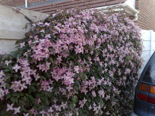 Clematis Montana Warwickshire Rose lots of blooms