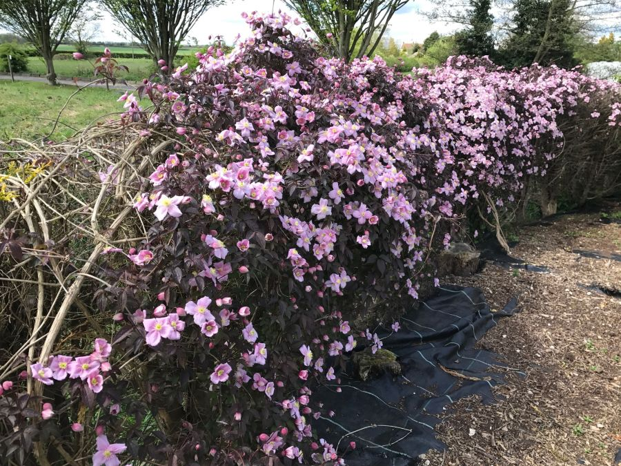 Clematis Montana Warwickshire Rose on the hedge