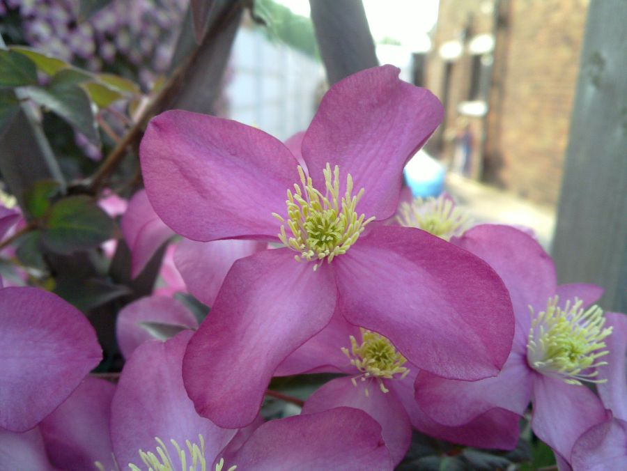 Clematis Montana Warwickshire Rose close up