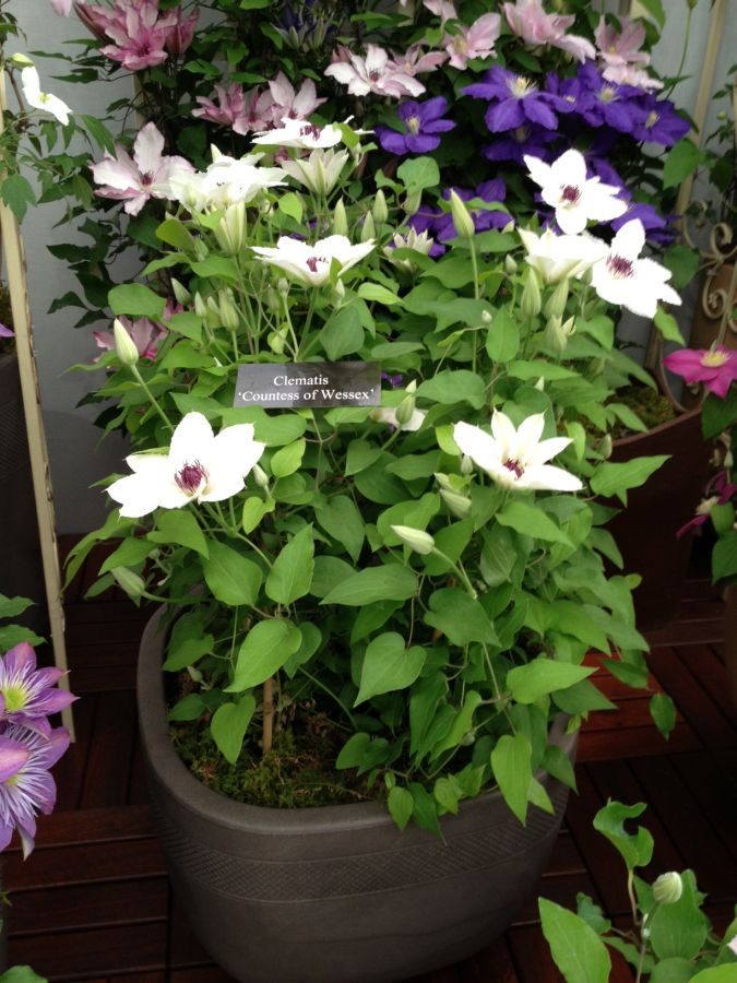 Clematis Countess of Wessex at Chelsea 2013