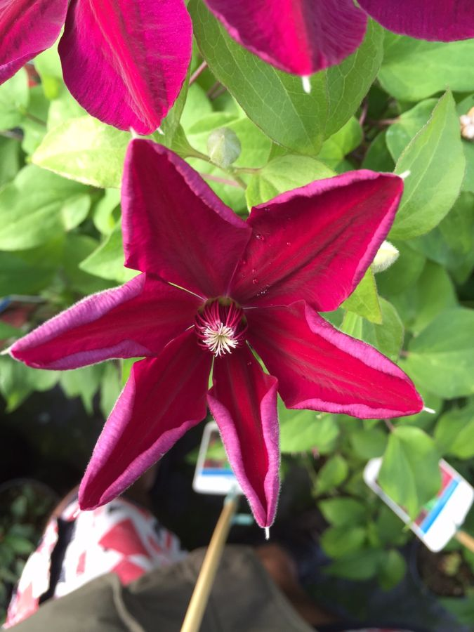 Clematis Westerplatte just opening