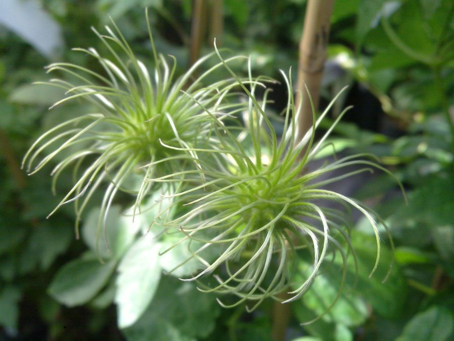 Clematis alpina white columbine seed heads