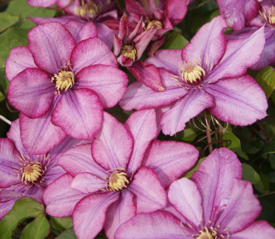Clematis Paradiso