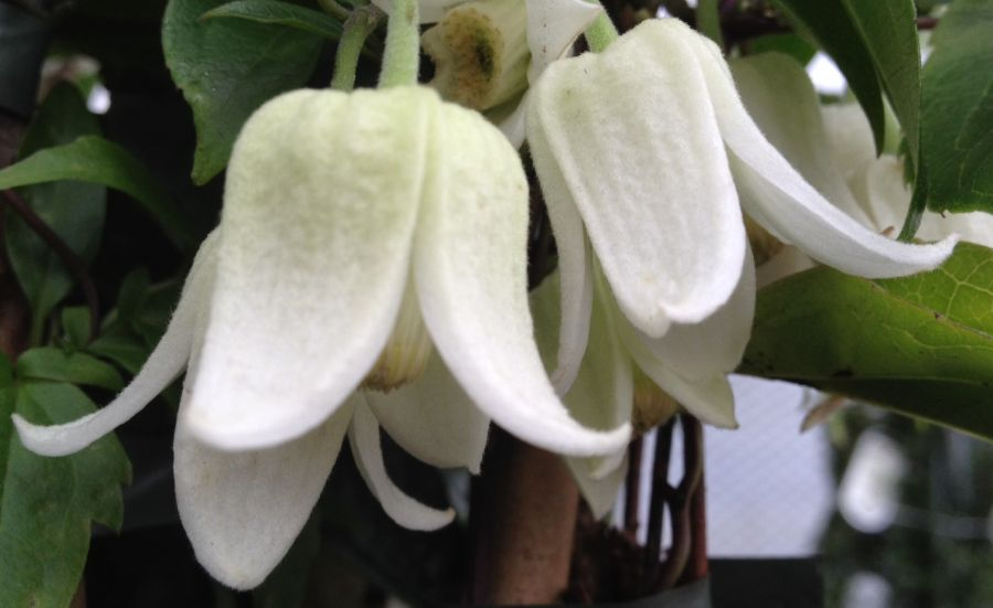 Clematis Winter Beauty nice pair