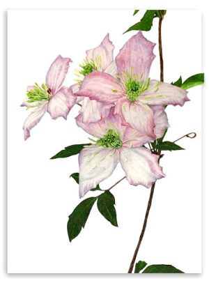  Clematis Montana watercolour print