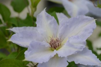 Taylors Clematis: 'Tranquillity'