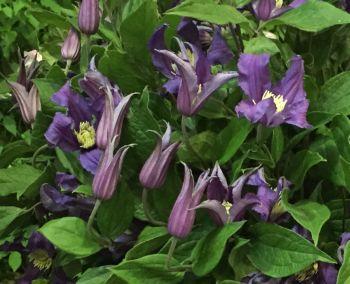 Taylors Clematis: diversifolia