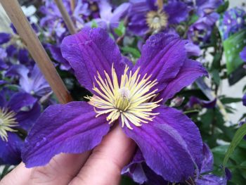 Taylors Clematis: diversafolia