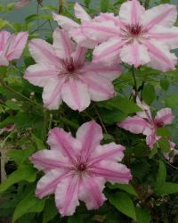 Taylors Clematis:  Charissima