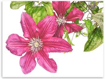 Taylors Clematis:  Clematis Rosemoor watercolour print