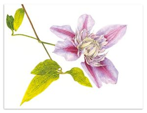 Taylors Clematis:  Clematis Josephine watercolour print