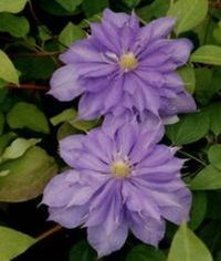 Taylors Clematis:  Countess of Lovelace