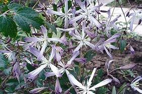 Taylors Clematis:  Edward Prichard