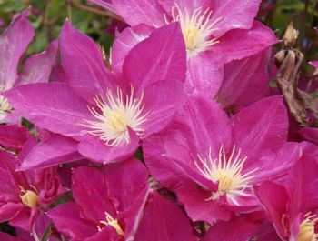 Taylors Clematis:  Freedom
