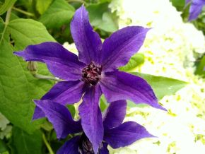 Taylors Clematis:  Guiding Promise