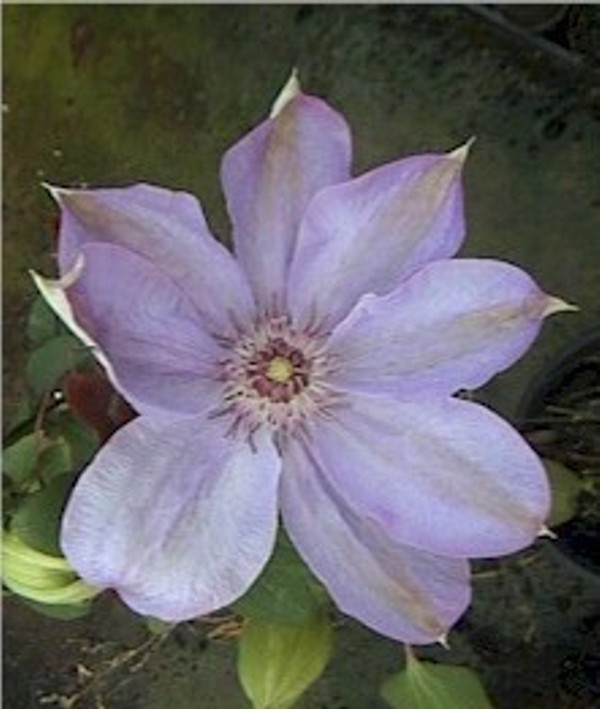 Taylors Clematis:  Lady Londesborough