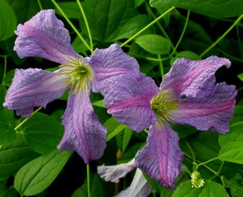 Taylors Clematis: viticella Morning Heaven