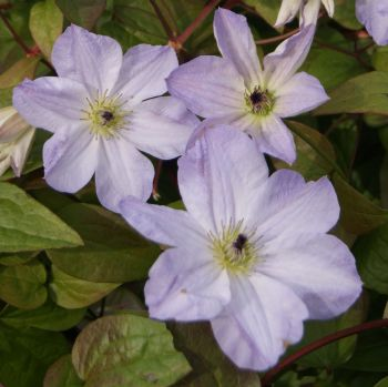 Taylors Clematis: viticella Sea Breeze