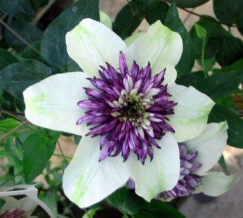 Taylors Clematis: florida Sieboldii