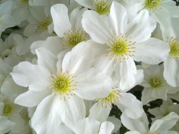 Taylors Clematis: cartmanii Avalanche