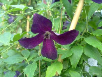 Taylors Clematis: viticella Black Prince