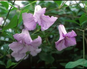 Taylors Clematis: viticella Betty Corning