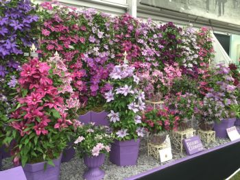 Taylors Clematis:  Chelsea Flowershow 2015
