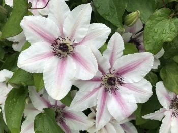 Taylors Clematis:  Countess of Wessex