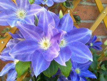 Taylors Clematis:  Diana's Delight