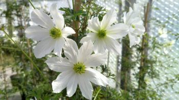 Taylors Clematis: cartmanii Early Sensation