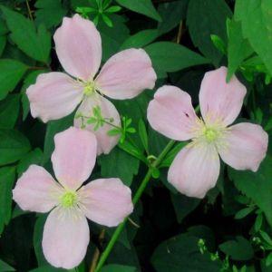 Taylors Clematis: montana Odorata