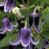Taylors Clematis: integrifolia Fascination
