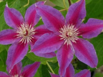 Taylors Clematis:  Fireworks