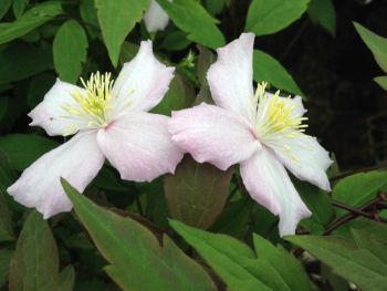 Taylors Clematis: montana Fragrant Spring