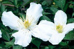 Taylors Clematis: montana Grandiflora