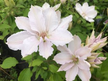 Taylors Clematis:  Hyde Hall