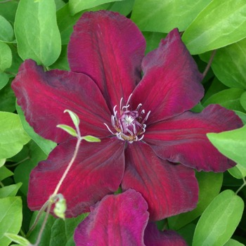 Taylors Clematis:  Meghan