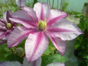 Taylors Clematis:  Lasting love