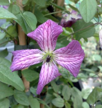 Taylors Clematis: viticella I am Little Beauty