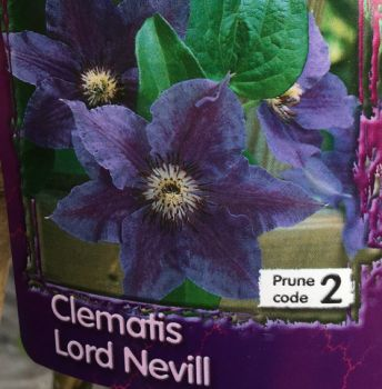 Taylors Clematis:  Lord Nevill