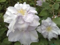 Taylors Clematis:  Louise Rowe