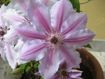 Taylors Clematis:  Nelly Moser