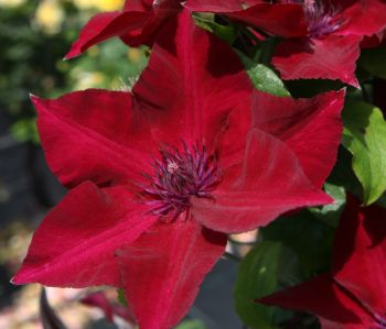 Taylors Clematis:  Nubia