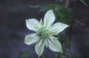 Taylors Clematis: florida Peppermint